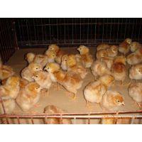 河南海兰灰青年鸡抗病力强60天脱温优质海兰灰蛋鸡易成活农户批发