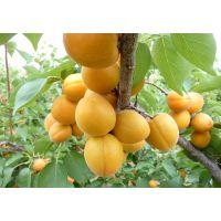 壹棵树珍珠油杏 精品珍珠油杏