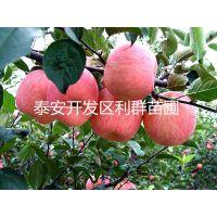 供应嘎啦苹果苗 富士苹果苗 苹果树苗 苹果树基地