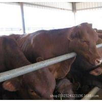 进口谷饲冷冻利木赞牛肉-澳大利亚史密斯牧场
