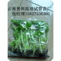 云南省普洱市源科组培苗有限公司 大量供应一级西宫蕉组培袋苗