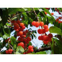 大量供应山东泰安吉塞拉大樱桃树苗(红灯 美早 拉宾斯 先锋 早大果)