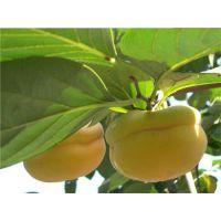 甜柿子苗的种植方法 柿子苗种植技术