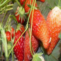 草莓苗什么时候种植 草莓苗出售 草莓苗批发