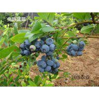 适合南方种植的蓝莓苗 泰安润佳农业品种齐全价格优惠易成活