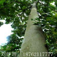 产地供应青桐 5-6-8 公分 法桐 白蜡  园林·植物 花卉苗木供应商