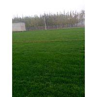 内蒙古草皮种植基地