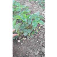 龙泽苗木(在线咨询)_淮安法兰地草莓苗_法兰地草莓苗栽培