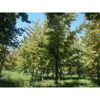 石家庄银杏树,绿都园林(图),18cm银杏树