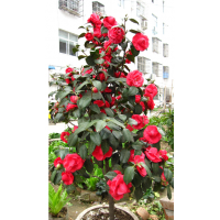 供应茶花树