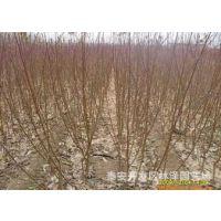 出售各种 桃树实生苗 桃树原生苗 桃树苗价格