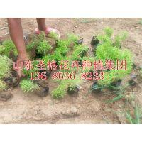 青州市佛甲草种植基地