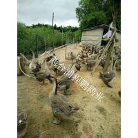 供应大种鹅合浦狮头鹅 品种肉质优良抗病力强 出栏快 体重大