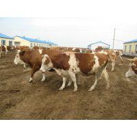 东北肉牛价格 西门塔尔肉牛价格 肉牛牛犊价格表 水牛 黑白花奶牛