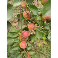 优质珍珠油杏幼苗哪里有卖 五公分珍珠油杏苗