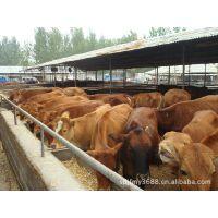 大量利木赞齐全利木赞牛养殖大量牛犊价格***低大量有利木赞肉牛