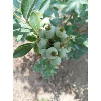 河南蓝莓苗批发价格/蓝莓苗品种/河南哪里有蓝莓苗出售