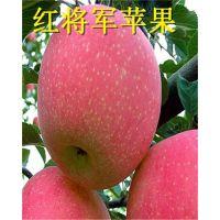 贵州苹果苗价格_矮化苹果苗_烟富八矮化苹果苗