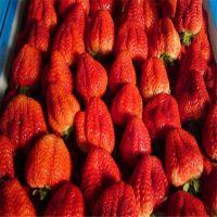 佳一园艺场大量供应大棚采摘园 红颜草莓苗 价格低易成活包结果量大优惠