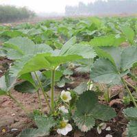 甜查理草莓苗种苗|黔江甜查理草莓苗|泰达园艺场