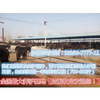 哪里出售小牛犊购买小牛犊多大的品种好%%
