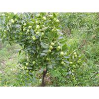 枣树苗多少钱一棵?泰安佳丽园艺大量供应优质枣树苗 价格优惠