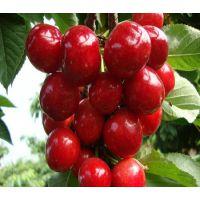 湖南樱桃苗品种,湖南樱桃苗特点,湖南樱桃苗价格