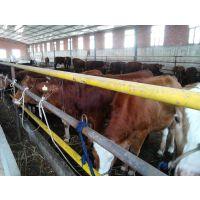 那种品种的牛适合全国养殖 育肥快,价格低