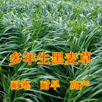 牧草种子 南北方多年生黑麦草墨西哥玉米苜蓿高丹草牛羊鱼草籽菊苣苜蓿草