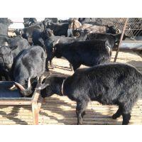努比亚黑山羊养殖场出售黑山羊品种养殖黑山羊购买黑山羊