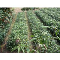 天河凯特芒果苗批发 各类芒果树苗供应 种植南方 18877788871
