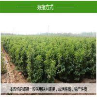 早大果樱桃苗 产量高 口感好 自产自销 泰安大地果树园艺场
