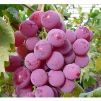 山东基地大量供应葡萄苗 新品种葡萄苗 红提/巨宝 品种纯正 量大从优
