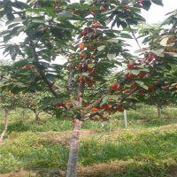 矮化大樱桃苗多少钱一棵矮化大樱桃苗品种