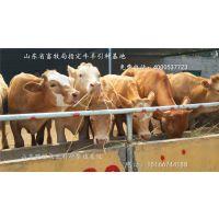 国内肉牛养殖动态 架子牛效益分析 出肉率夏洛莱牛犊
