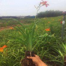 青州勋章菊种植丨批发丨基地