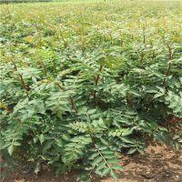 作用广泛的花椒苗批发 花椒苗出售价格 批发花椒苗