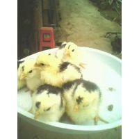 供应福建贵妃鸡苗、龙岩贵妃鸡种苗批发、特种养殖种苗全国包到