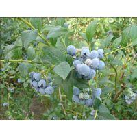 蓝莓苗多少钱一棵?泰安润佳农业大量供应优质高产蓝莓苗