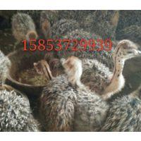 优质小鸵鸟价格 华旺特种鸵鸟养殖场