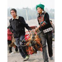 云南、四川、贵州老品种土鸡,纯土鸡土乌鸡