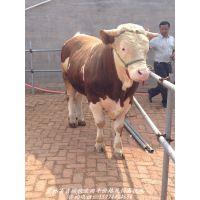 吉林生产牛厂家最新牛报价、吉林现在牛多少钱、吉林卖牛电话15774404666吉林吉顺牧业