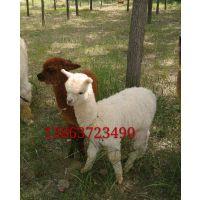 有卖小羊驼的吗观赏羊驼养殖基地我们养殖场出售羊驼