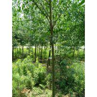 丝棉木价格 丝棉木树价格更新 丝棉木树苗报价参考