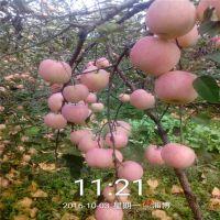 烟富3苹果苗批发价格烟富3苹果苗哪里有