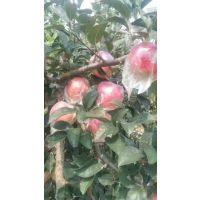 山东今日红星苹果产地批发价格