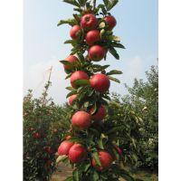 山东矮化柱状苹果苗,1公分富士、红星苹果树苗批发价格