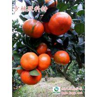 茂谷柑升级品种默科特 综合表现更强 苗木供应