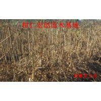 刺嫩芽小苗、刺嫩芽基地、辽宁刺嫩芽、刺嫩芽种苗基地