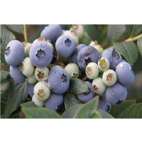 蓝莓苗、重庆本地蓝莓苗(优质商家)、重庆哪里有蓝莓苗子
